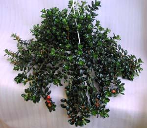 Побегами ампельные растения
